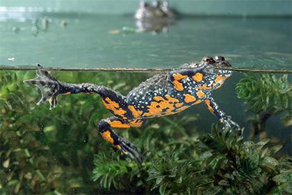 Глобальное потепление заставило лягушек и жаб стать вегетарианцами