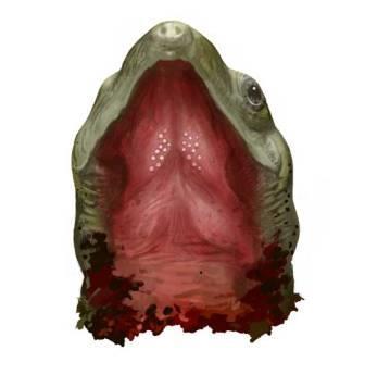 Небные зубы Sichuanchelys palatodentata