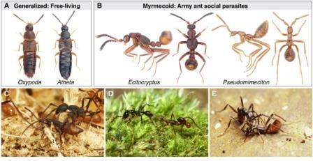 Муравьи и жуки-стафилиниды из подсемейства Aleocharinae