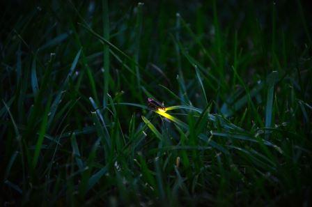 Состав сперматофора указал на нимфоманию светляков