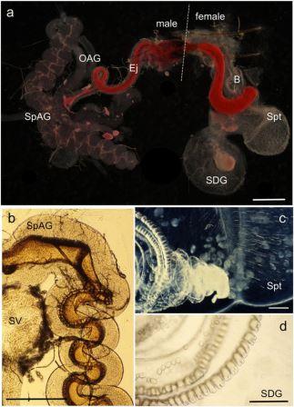 Процесс внедрения сперматофора