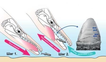 В зубах древнего кита нашли секрет его эволюции