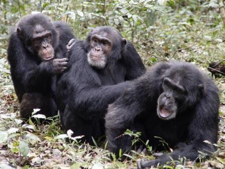 Шимпанзе помогают друг другу, но бескорыстно ли?