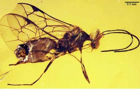 Представитель нового подсемейства Novichneumon longus