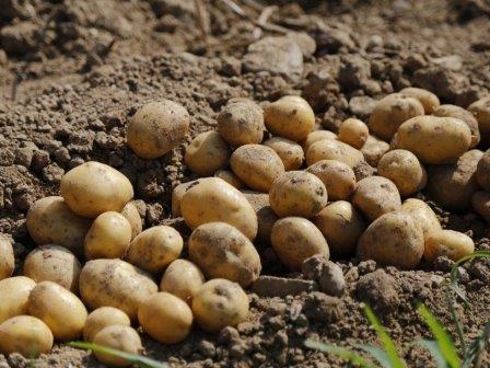 Генетики изучают историю болезни картофеля