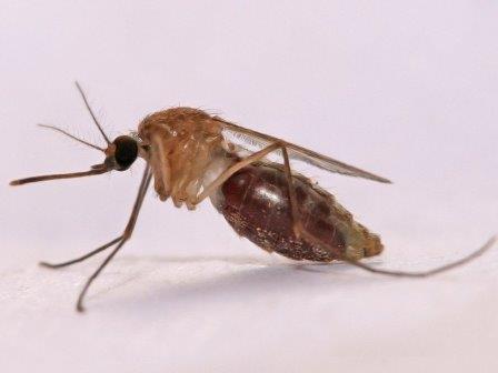 Стало известно, как комары «видят» тепло своих жертв