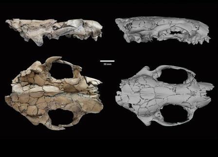Кости черепа и челюсти Siamogale melilutra