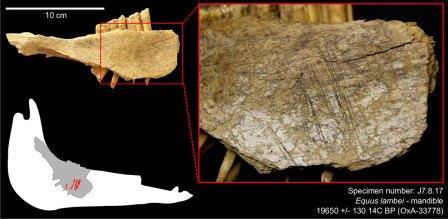 Челюсть лошади со следами орудий из пещеры Блуфиш