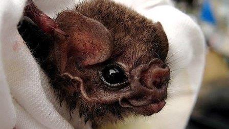 Мохноногий вампир (Diphylla ecaudata)