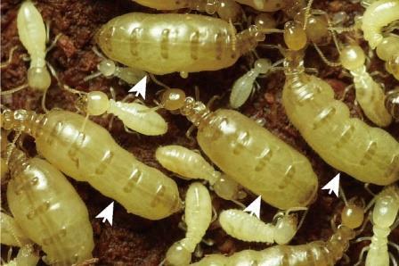 Японские генетики нашли «эликсир молодости» королев термитов