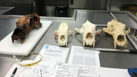 Найденный череп (слева) и черепа других белых медведей