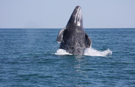 Эксперты: популяция серых китов на шельфе Сахалина ежегодно увеличивается на 3-4%