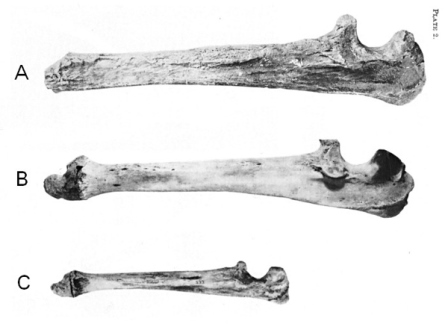 Сравнение локтевой кости гигантского белого медведя (A) с современным белым медведем (B) и бурым медведем (C)