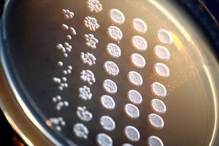 Дрожжи Saccharomyces cerevisiae