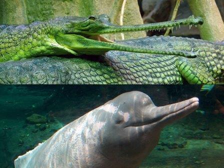 Гангский гавиал и амазонский дельфин