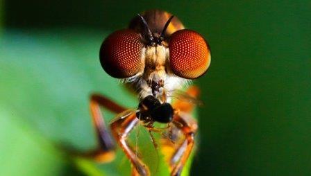 Хищные мухи-ктыри из рода Holcocephala оказались самыми зоркими существами на планете