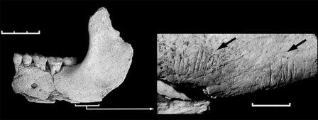 Челюсть из Эль Сидрон. Показаны следы каменных орудий - свидетельство каннибализма.