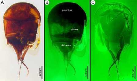 Ископаемый жук Cretotrichopsenius burmiticus при сильном увеличении
