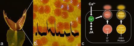 Раскрыт механизм пищеварения венериной мухоловки