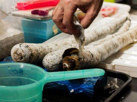 Самый длинный в мире моллюск впервые живьем попал в руки ученых