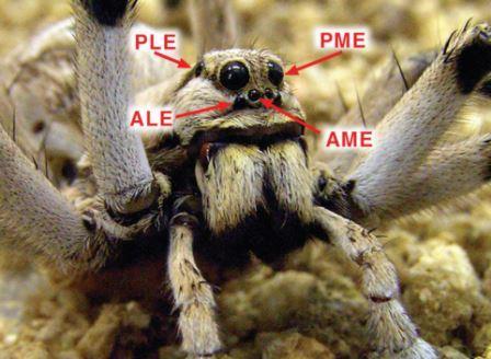 Расположение глаз L. tarantula