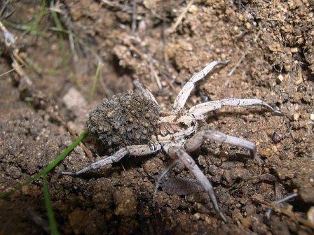 Самка Lycosa tarantula с потомством