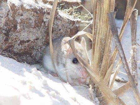 Береговой хомячок (Peromyscus polionotus)