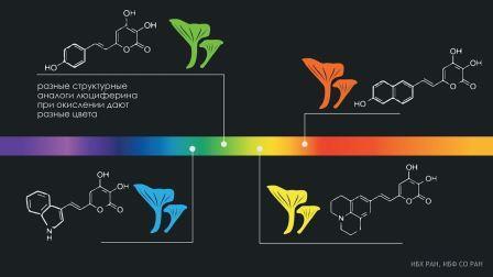 как люциферин грибов превращается в испускающую свет молекулу