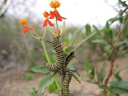 Гусеницы некоторых видов бабочек, таких как Danaus plexippus, не имеют постоянной кишечной микрофлоры