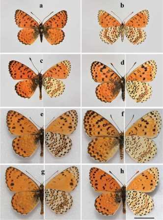 Сравнение M. acentria (a-d) и M. persea persea (e-h)