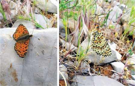 Melitaea acentria в природе. Female.