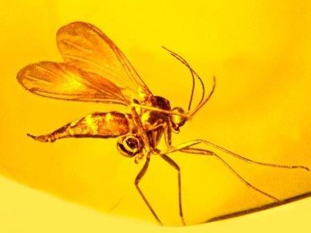 Грибковый комар, пойманный в Балтийском янтаре около 45-55 миллионов лет назад