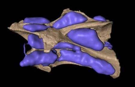 Компьютерная реконструкция воздушных полостей позвонка зауропода Brachiasaurus