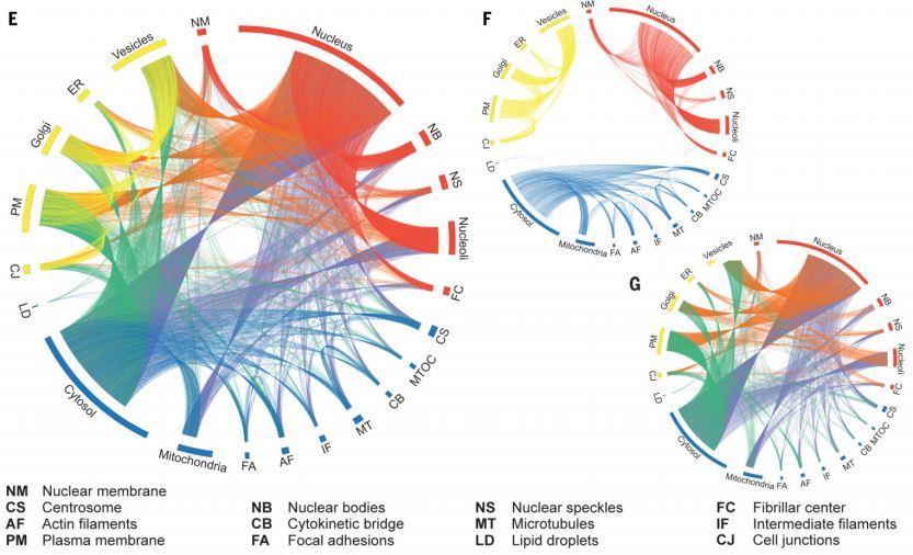 Связь всех внутриклеточных структур (E), отдельных внутриклеточных структур (F) и межкомпартментных взаимодействий (G) по критерию локализации белков