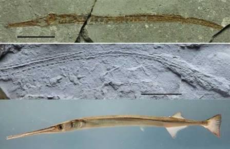 Голотип новой рыбы-иглы, противоотпечаток (трансфер) и современная рыба-игла