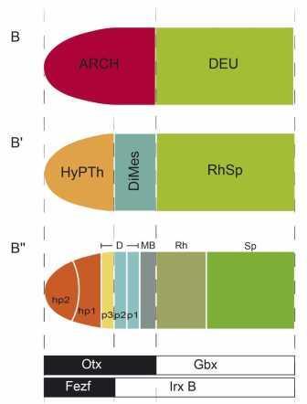 Топологическое сравнение механизмов нейруляции нервной трубки