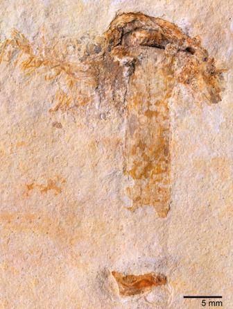 Gondwanagaricites magnificus