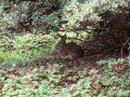 Кролик Sylvilagus parentum