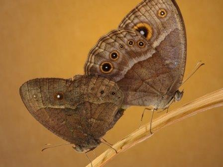 Пара бабочек Bicyclus anynana