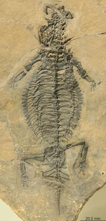 Скелет Eusaurosphargis dalsassoi