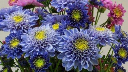 Генетики создали синюю хризантему