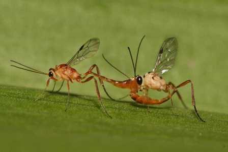 Как паразиты насекомых «воюют» в теле хозяина