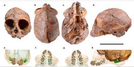 Сверху - череп KNM-NP 59050.