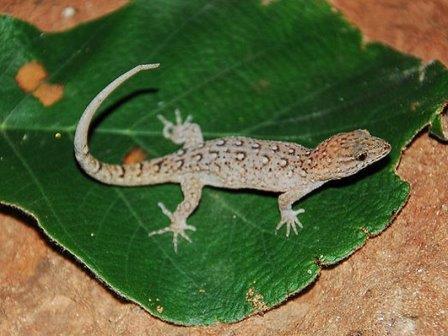 Gymnodactylus amarali