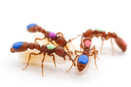 Рабочие муравьи Ooceraea biroi, меченные для изучения их поведения