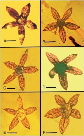 Цветы Tropidogyne pentaptera