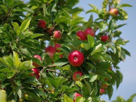 Генетики рассказали о сложной истории культурной яблони