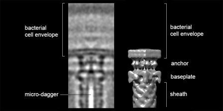 Слева — снимок структуры головной части бактериального «оружия», справа — ее 3D-реконструкция