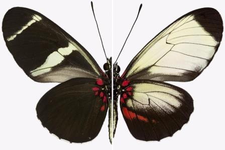 Узоры крыльев обычной бабочки Heliconius sara (слева) в сравнении с узором у бабочки с мутантным геном