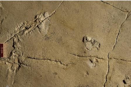 Отпечатки ступней, предположительно, взрослой особи в статичной позе